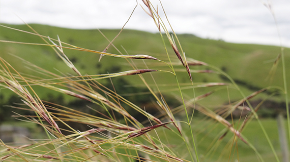 cic chilean needle grass sml